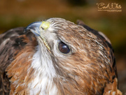 "8th Apr 2015 - ""IsThis My Best Side?""  (Falcon)"