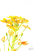 8th Apr 2015 - African lily in high key