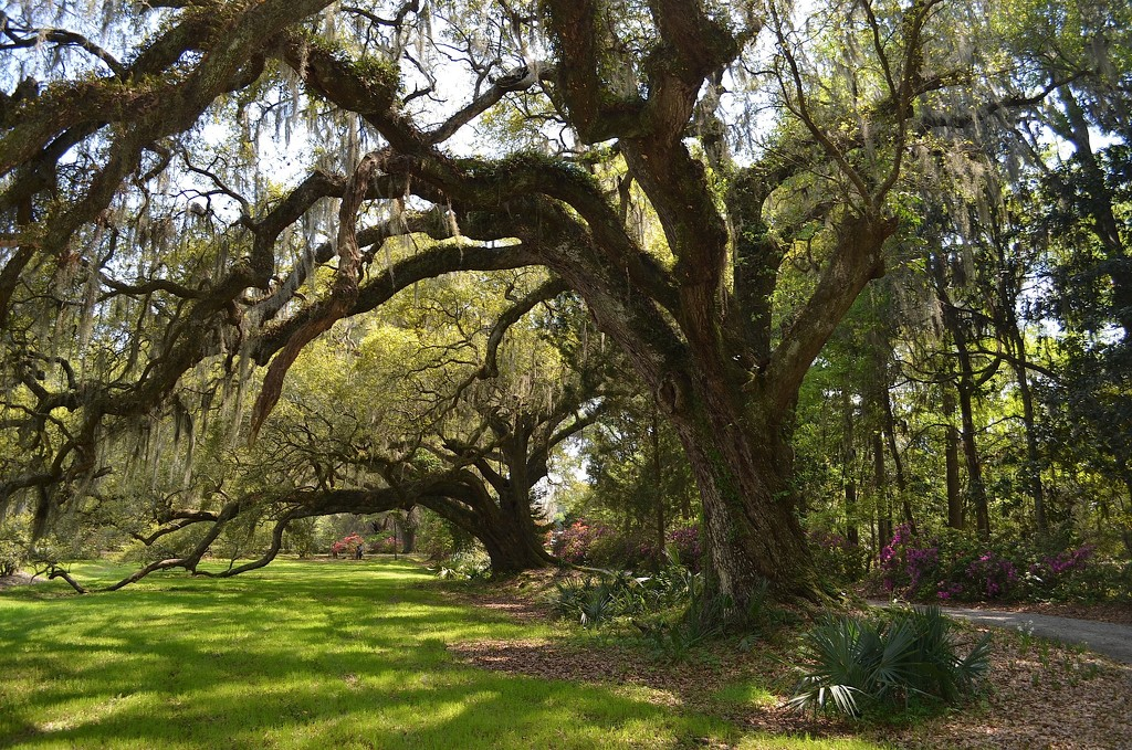 Two of my favorite live oaks at Magnolia Gardens by congaree