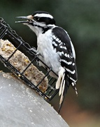 8th Apr 2015 - Another woodpecker at the suet today.