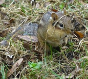 8th Apr 2015 - Chipmunk Rooting in the Grass by the Feeders
