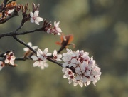 8th Apr 2015 - Cherry blossom again