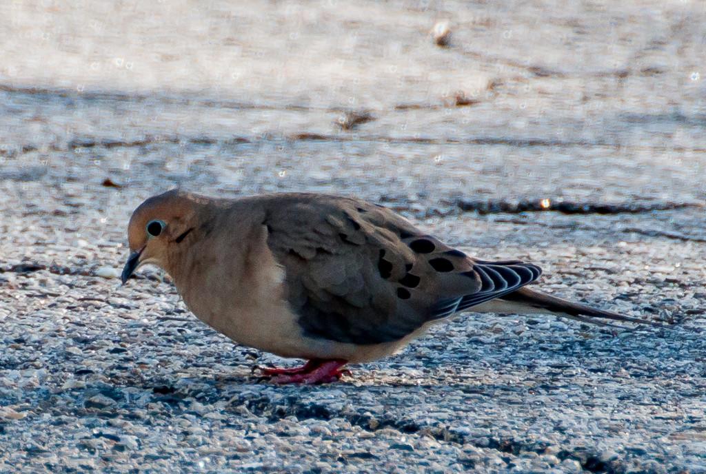 Mourning Dove by joansmor