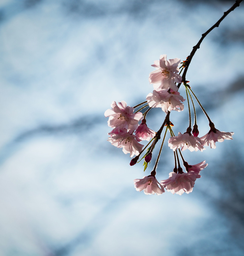 Blossoms by rosiekerr