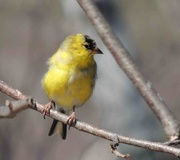 6th Apr 2015 - Another American Goldfinch