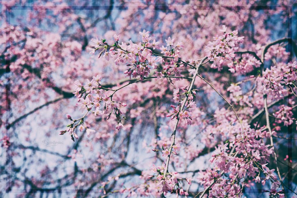 In Bloom by lyndemc