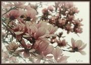 8th Apr 2015 - Magnolia Blossoms