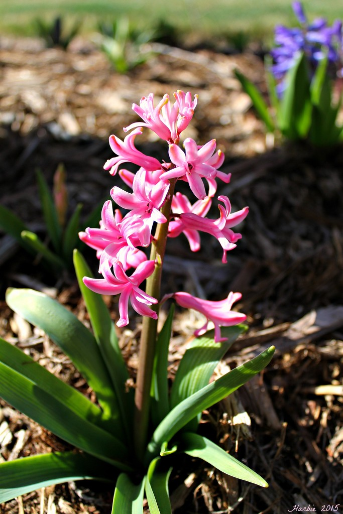 Pink Hyacinth by harbie