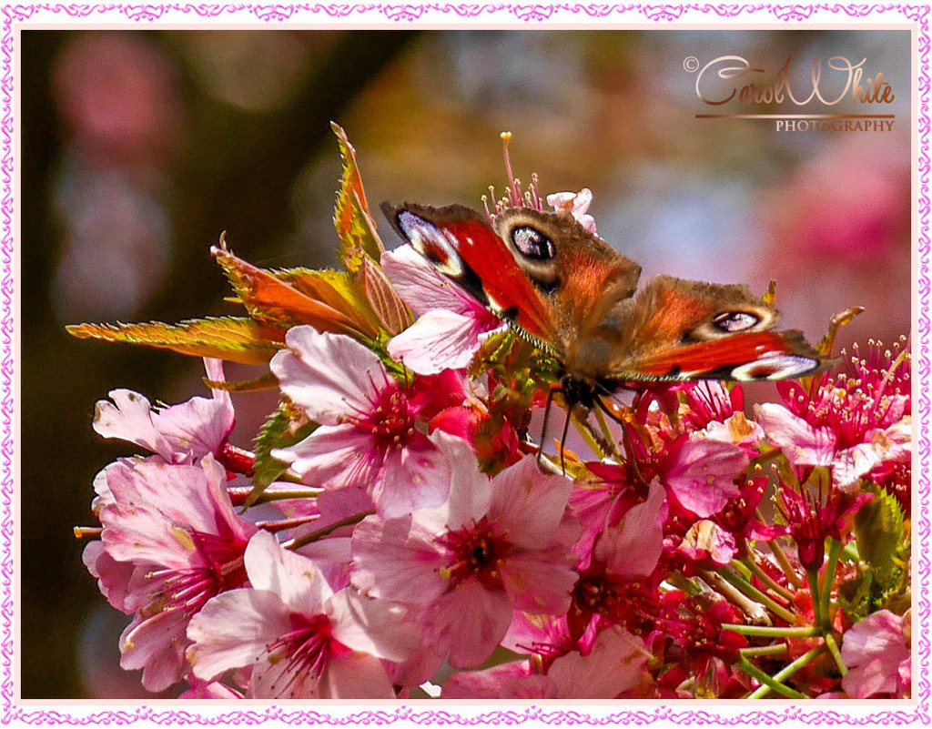 Peacock Butterfly And Blossom by carolmw