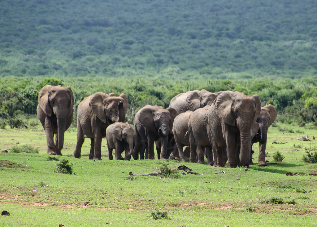 Elephant Herd marches in! by salza