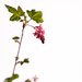 2015 04 09 - Ribes by pixiemac