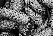 9th Apr 2015 - Pine Cones