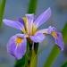 Iris, Cypress Gardens, Berkeley County, SC by congaree