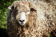 10th Apr 2015 - Who're ewe looking at
