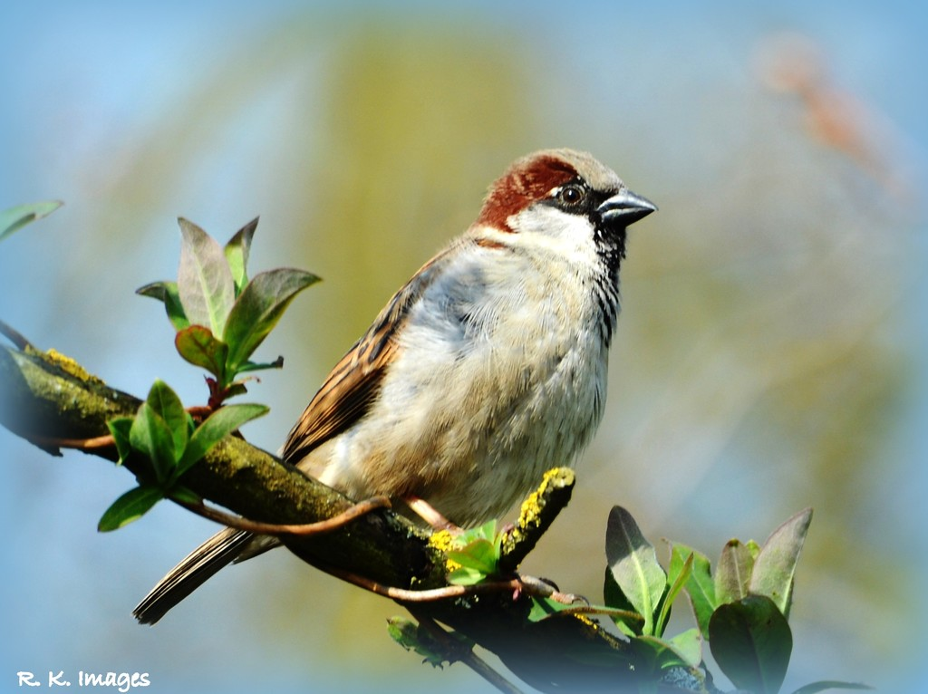 My friend the House Sparrow by rosiekind