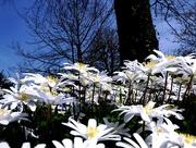 10th Apr 2015 - An exuberance of Anemones...
