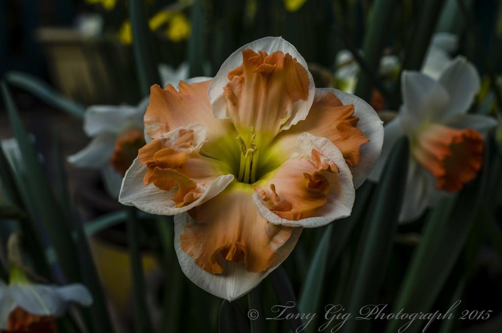 Daffodil Flower by tonygig