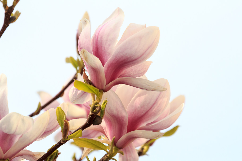 2015 04 10 - Magnolia by pixiemac