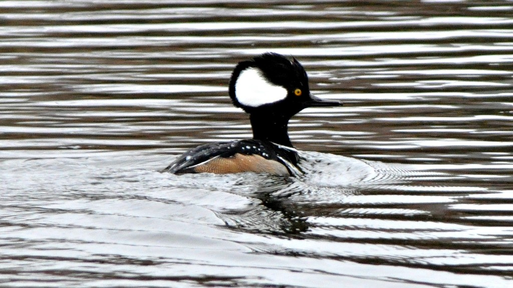 Hooded merganser duck by sailingmusic