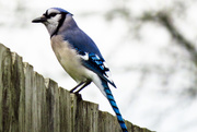 10th Apr 2015 - Yea for Me - or the BlueJay