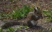 10th Apr 2015 - Hungry Squirrel