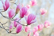 10th Apr 2015 - Tulip Tree