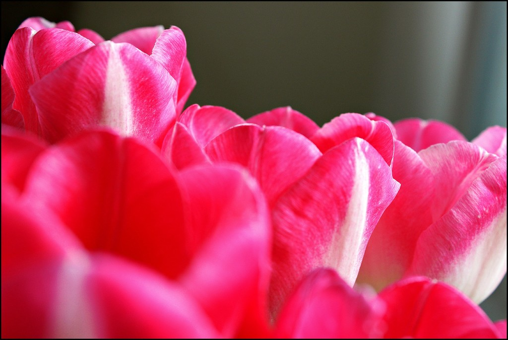 Top of the Tulips by olivetreeann