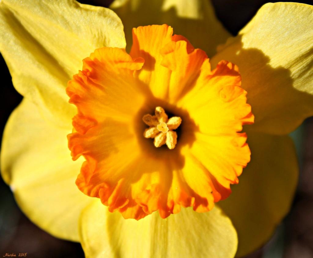 Daffodil by harbie