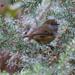 Tiny Thornbill by flyrobin