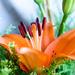 Orange Lily by salza