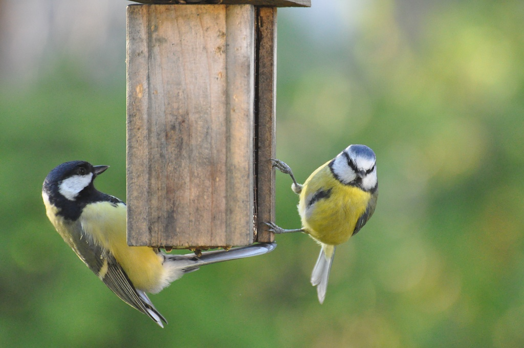 Great tit and blue tit by overalvandaan