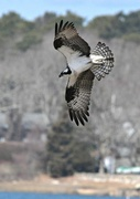 11th Apr 2015 - Expanding feathers on osprey