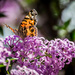 Monarch on Lilac by ckwiseman