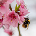 Peach blossom pollinator at work... by vignouse
