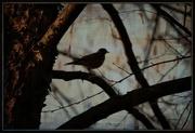 11th Apr 2015 - Bird In Tree