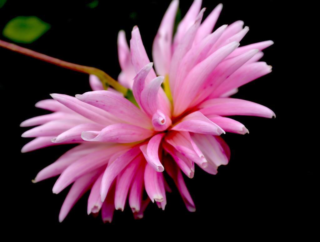 Blooming Pink by kiwinanna