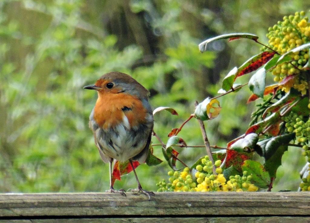 Robin Redbreast. by wendyfrost