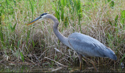 11th Apr 2015 - Blue Herron in search for dinner