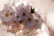 12th Apr 2015 - Cherry Blossom