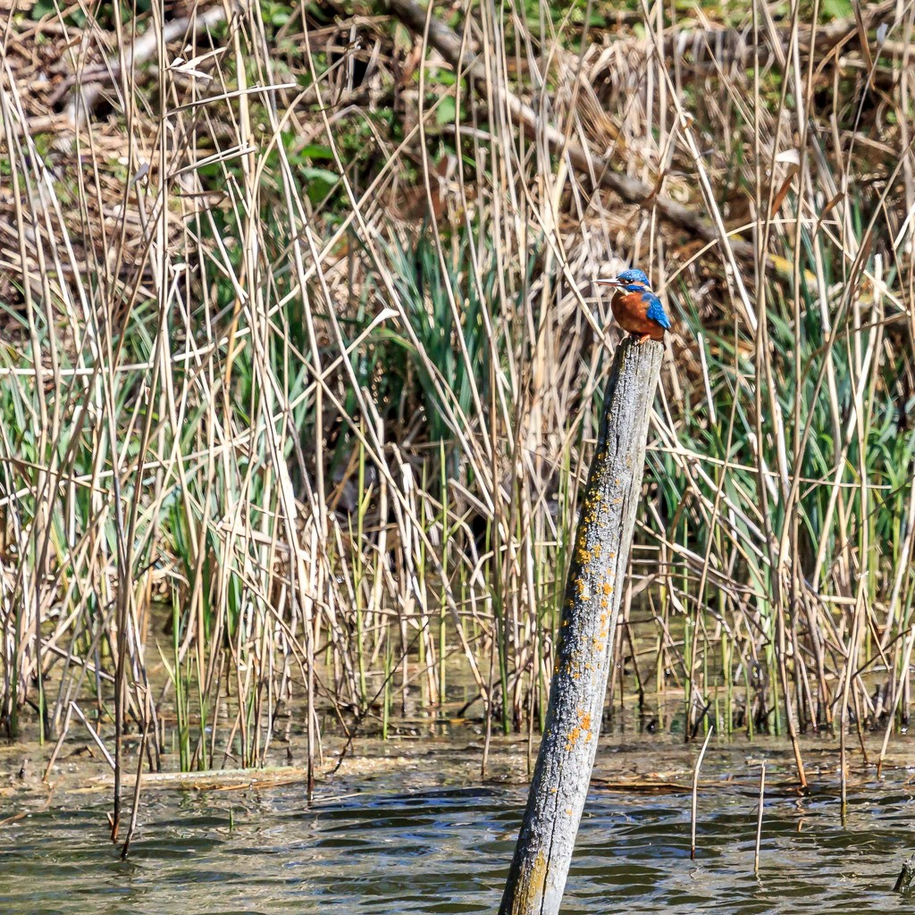 2015 04 12 - Kingfisher by pixiemac