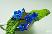12th Apr 2015 - Little blue flowers