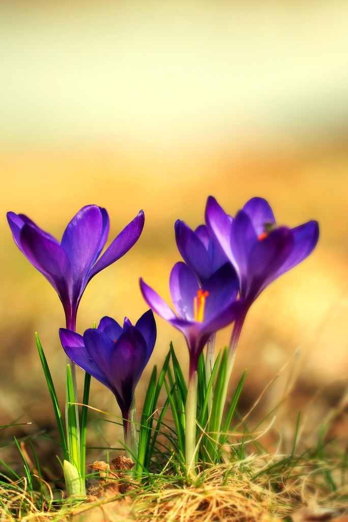 Crocus' Last Stand by mzzhope