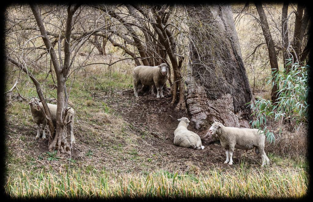 Iconic pastoral Australia by flyrobin