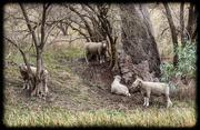 13th Apr 2015 - Iconic pastoral Australia