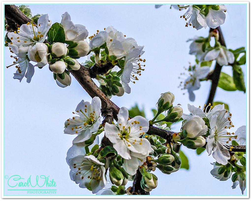 Dewy Plum Blossom by carolmw