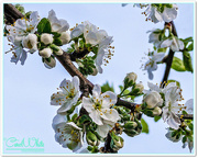 13th Apr 2015 - Dewy Plum Blossom