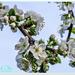 Dewy Plum Blossom
