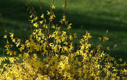 13th Apr 2015 - The forsythias have flowered