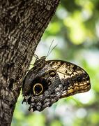 11th Apr 2015 - Callaway Gardens Butterfly House