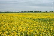 13th Apr 2015 - Fields of Yellow